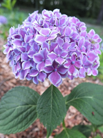 Hortensja ogrodowa (Hydrangea macrophylla) 'Frau Fujiyo' - HGN