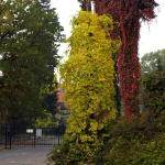 Celastrus orbiculata jesień - Wojsławice HGN