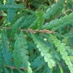 Comptonia peregrina - Wojsławice, HGN