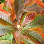 Franklinia alatamaha - Wojsławice, HGN 16. X 2007