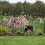 Kolekcja drzew z rodzaju Prunus - Arboretum w Wojsławicach 2012