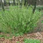 Oemleria cerasiformis - Wojsławice, HGN 14.04