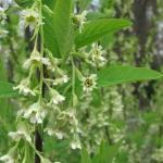 Oemleria cerasiformis - Wojsławice, HGN 14.04 (2)