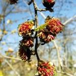 Parrotia persica Wojsławice HGN