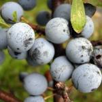 Prunus spinosa - Wojsławice, HGN