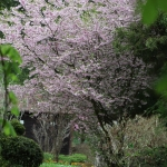 Prunus subhirtella 'Dahlem' - Wojsławice, TN