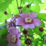 Rubus odoratus - Wojsławice, HGN VII.2009