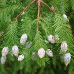 Taxodium distichum - Wojsławice, HGN