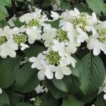 Viburnum plicatum 'Shasta' - Wojsławice, HGN 15.V.2009