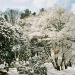 Zima - grupa klonów palmowych (Acer palmatum) - Wojsławice HGN 2002