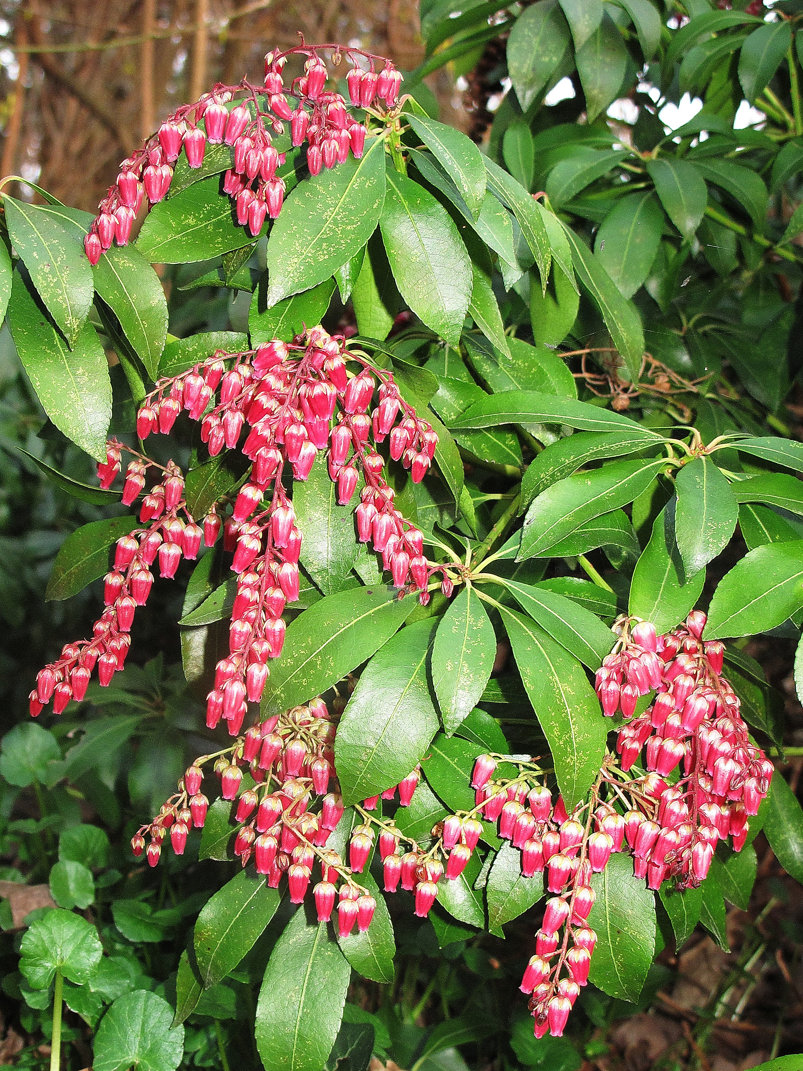 Pieris japonica 'Valley Valentine' - TD