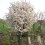 Prunus nipponica 'Brillant' wiśnia nippońska 'Brillant' - TD