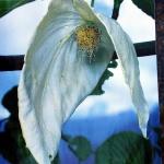 Dawidia chińska odm. Vilmorina (Davidia involucrata var. vilmoriniana) - kwiatostan z podsadkami  - HGN