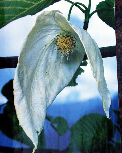 W Arboretum w Wojsławicach zakwitła po 15 latach dawidia chińska odm. Vilmorina (Davidia involucrata var. vilmoriniana) 2013 r.