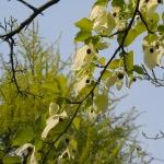 Dawidia chińska odm. Vilmorina (Davidia involucrata var. vilmoriniana)  - TD