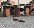 Arboretum w Wojsławicach powiększyło się o 8 małych kaczek krzyżówek 2013 r.