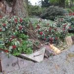 Skimmia japonica ssp. reevesiana 12.04.2014 HGN (2)