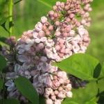 Syringa vulgaris 'Lila Wonder' - TD
