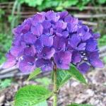 Hydrangea macrophylla 'Amor'