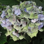 Hydrangea macrophylla 'Black Steel Blue' (2)