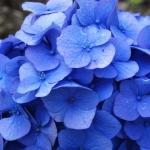 Hydrangea macrophylla 'Blue Donau' (5)