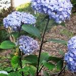 Hydrangea macrophylla 'Nigra' (2)