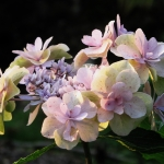 Hydrangea macrophylla 'You me three' (3)