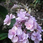Hydrangea macrophylla 'You me three' (5)