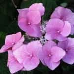 Hydrangea macrophylla 'Zorro' (3)