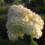 Hydrangea paniculat 'Grandiflora' (2)