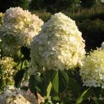 Hydrangea paniculat 'Grandiflora' (3)