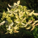 Hydrangea paniculata GREAT STAR 'Le Vasterival' (3)