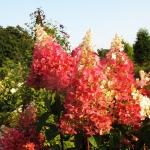 Hydrangea paniculata 'Pinky Winky' (2)