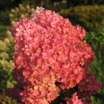 Hydrangea paniculata 'Vanille Fraise' (5)