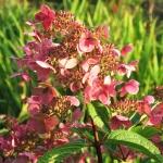 Hydrangea paniculata 'Wim's Red' (2)