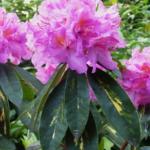 Rhododendron 'Goldflimmer' - fot. TD