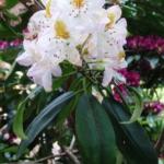 Rhododendron 'Minnie'
