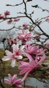 Magnolia Loebnera (Magnolia x loebneri) 'Raspberry Fun' - fot. Tomasz Dymny