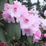 Rhododendron sutchuenense - AW_HGN 2015 (310)