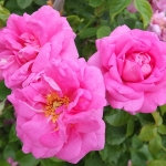 Rosa CAPE DIAMOND WOJ-HGN 12.06 (9) PP