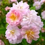 Rosa PARFUM D'EVITA WOJ-HGN 12.06 (20) K
