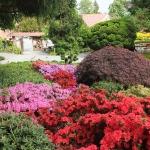 Bujne, majowe kwitnienie różaneczników i azalii w trakcie HEMEOmania 2015-  Arboretum w Wojsławicach_HGN (2)