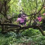 Bujne, majowe kwitnienie różaneczników i azalii w trakcie HEMEOmania 2015-  Arboretum w Wojsławicach_HGN (3)