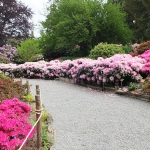 Bujne, majowe kwitnienie różaneczników i azalii w trakcie HEMEOmania 2015-  Arboretum w Wojsławicach_HGN (4)