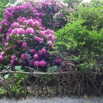 Bujne, majowe kwitnienie różaneczników i azalii w trakcie HEMEOmania 2015-  Arboretum w Wojsławicach_HGN (6)