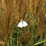 Miskant chiński (Miscanthus sinensis) 'Silver Stripe' - fot. TD (2)