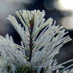 Pinus cembra_'Bambino'_TN