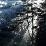 Pinus koreaiensis_TN