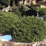 Buxus sempervirens 'Vardar Vally' 1 - TD