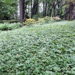 Dywany pragni syberyjskiej (Waldsteinia ternata) - HGN